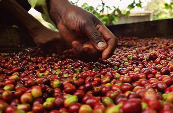 Sustainably Sourced Coffee