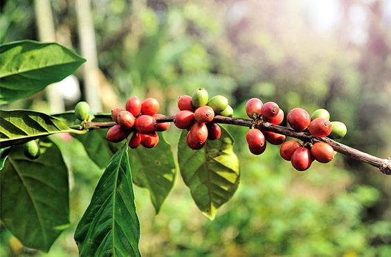 Lavazza Coffee Blend